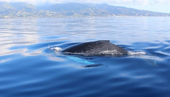 aileron dorsal baleine