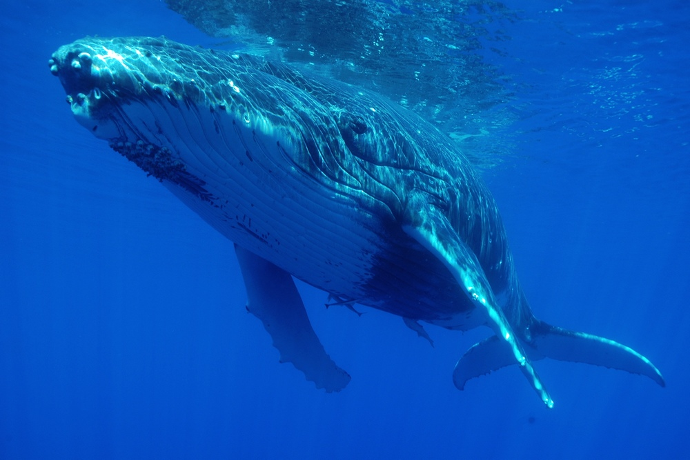 http://tahitivoileetlagon.com/wp-content/uploads/2015/10/baleine-1.jpg