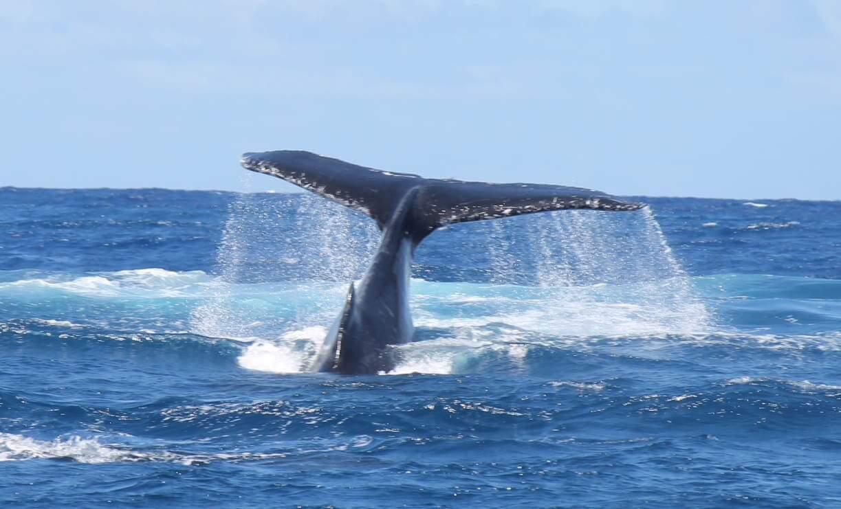 http://tahitivoileetlagon.com/wp-content/uploads/2020/06/baleine-plonge.jpg